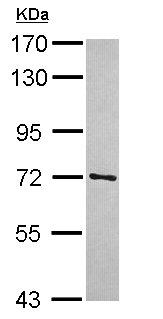 Western blot - Anti-TRIM41 antibody (ab111580)