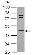 Western blot - Anti-WDR85 antibody (ab111910)