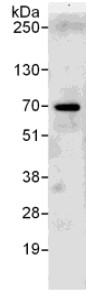 Immunoprecipitation - Anti-RPC62 antibody (ab111995)