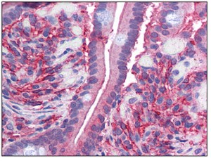Immunohistochemistry (Formalin/PFA-fixed paraffin-embedded sections) - Anti-Cytochrome b reductase 1 antibody (ab111997)
