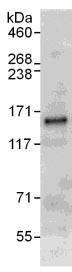 Immunoprecipitation - Anti-ANKS1A antibody (ab112001)