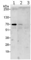 Immunoprecipitation - Anti-RPC62 antibody (ab112057)