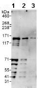 Western blot - Anti-TTF2 antibody (ab112078)