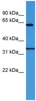 Western blot - Anti-ENOX2 antibody (ab112085)