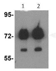 Western blot - Anti-ATAD3B antibody (ab112563)