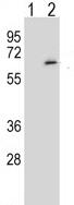 Western blot - Anti-SRPK1 antibody (ab113114)