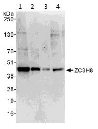 Western blot - Anti-ZC3H8 antibody (ab113260)