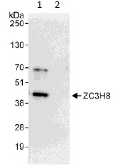 Immunoprecipitation - Anti-ZC3H8 antibody (ab113260)