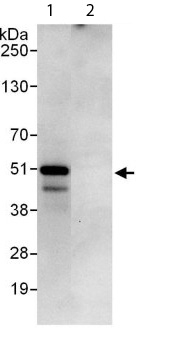 Immunoprecipitation - Anti-PEX14 antibody (ab113286)