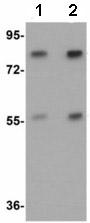 Western blot - Anti-Apc4 antibody (ab113364)