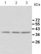 Western blot - Anti-ALKBH4 antibody (ab113500)