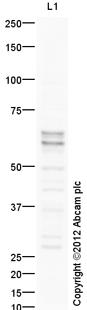 Western blot - Anti-BIN1 antibody (ab113544)