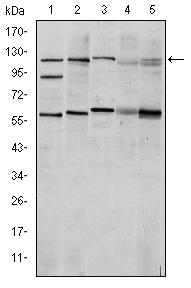 Western blot - Anti-HIF-1-alpha [1A3] antibody (ab113642)