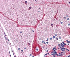 Immunohistochemistry (Formalin/PFA-fixed paraffin-embedded sections) - Anti-OCIAD1 antibody (ab113654)