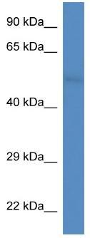Western blot - Anti-FAM55D antibody (ab113791)