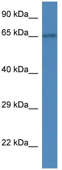 Western blot - Anti-SLC15A3 antibody (ab113819)