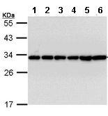 Western blot - Anti-14-3-3 beta antibody (ab113830)