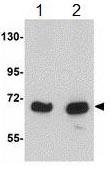 Western blot - Anti-KLHL15 antibody (ab113906)