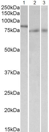 Western blot - Anti-IRF2BP1 antibody (ab114103)