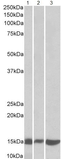 Western blot - Anti-Galectin 1 antibody (ab114112)