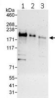 Western blot - Anti-RLF antibody (ab115154)