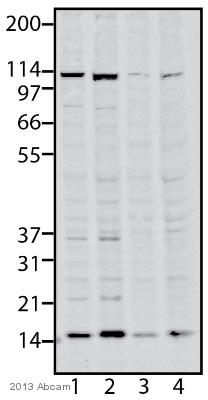 Western blot - Anti-SSBP1 antibody (ab116350)