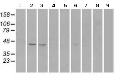 Western blot - Anti-Rad9 antibody [OTI7B11] (ab117848)
