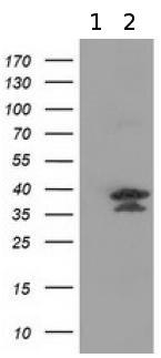 Western blot - Anti-VSIG2 antibody [OTI5A10] (ab118012)