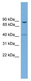 Western blot - Anti-DRP1 antibody (ab118926)