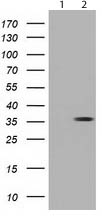 Western blot - Anti-NSE2 antibody [OTI4A2] (ab119074)