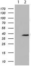 Western blot - Anti-FKBPL antibody [OTI4G1] (ab119083)