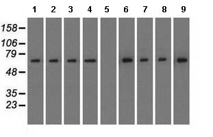 Western blot - Anti-RanGAP1 antibody [OTI1B4] (ab119092)