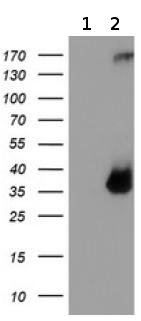 Western blot - Anti-TPSG1 antibody [OTI1G1] (ab119268)
