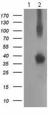 Western blot - Anti-XLF antibody [1F3] (ab119375)