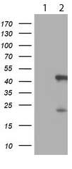 Western blot - Anti-SerpinB6 antibody [OTI2F8] (ab119393)