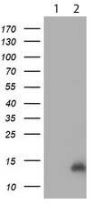 Western blot - Anti-CHCHD5 antibody [OTI4F3] (ab119428)