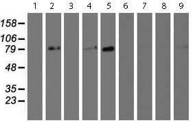 Western blot - Anti-GOLPH2 antibody [OTI6C9] (ab119800)