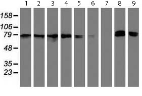 Western blot - Anti-NLN antibody [OTI1D6] (ab119802)