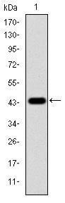 Western blot - Anti-ERK1 antibody [1E5] (ab119933)