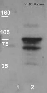 Western blot - Anti-N Cadherin antibody (ab12221)