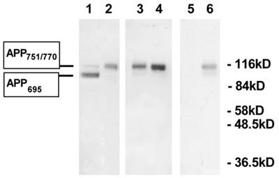 Western blot - Anti-Amyloid Precursor Protein antibody (ab12268)