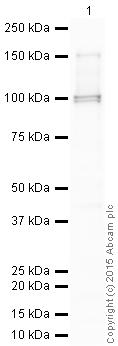 Western blot - Anti-p95 NBS1 (phospho S432) antibody (ab12297)