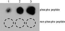 Dot Blot - Anti-p95 NBS1 (phospho S432) antibody (ab12297)
