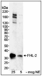 Western blot - Anti-FHL2 antibody (ab12327)
