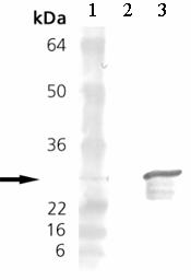 Western blot - Anti-Hsp27 antibody (ab12351)
