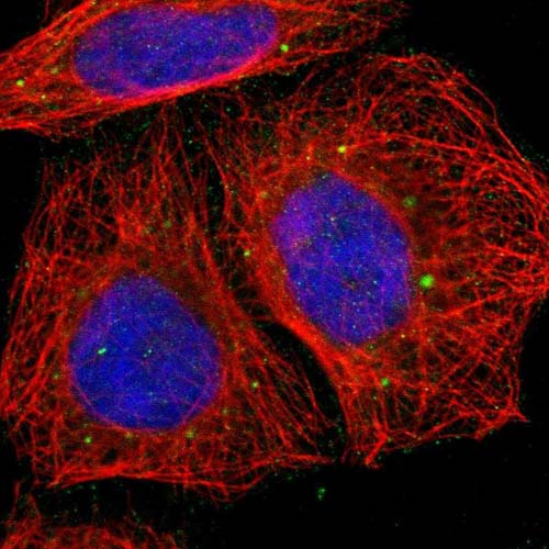 Immunocytochemistry/ Immunofluorescence - Anti-ZNF229 antibody (ab121139)