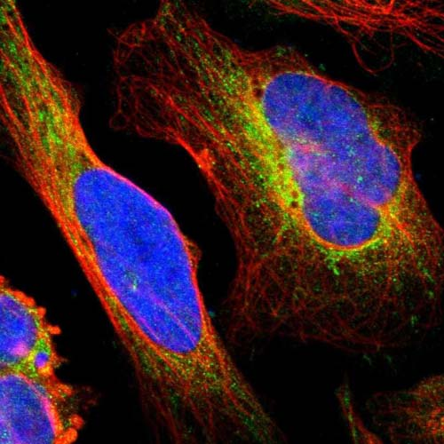 Immunocytochemistry/ Immunofluorescence - Anti-PDZK1 antibody (ab121230)