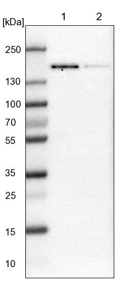 Western blot - Anti-TATA Element Modulatory Factor 1 antibody (ab121290)