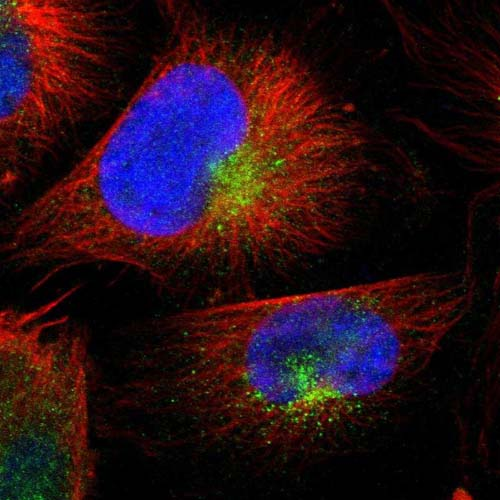 Immunocytochemistry/ Immunofluorescence - Anti-FRMD4B antibody (ab121310)