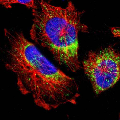 Immunocytochemistry/ Immunofluorescence - Anti-MRPL52 antibody (ab121366)